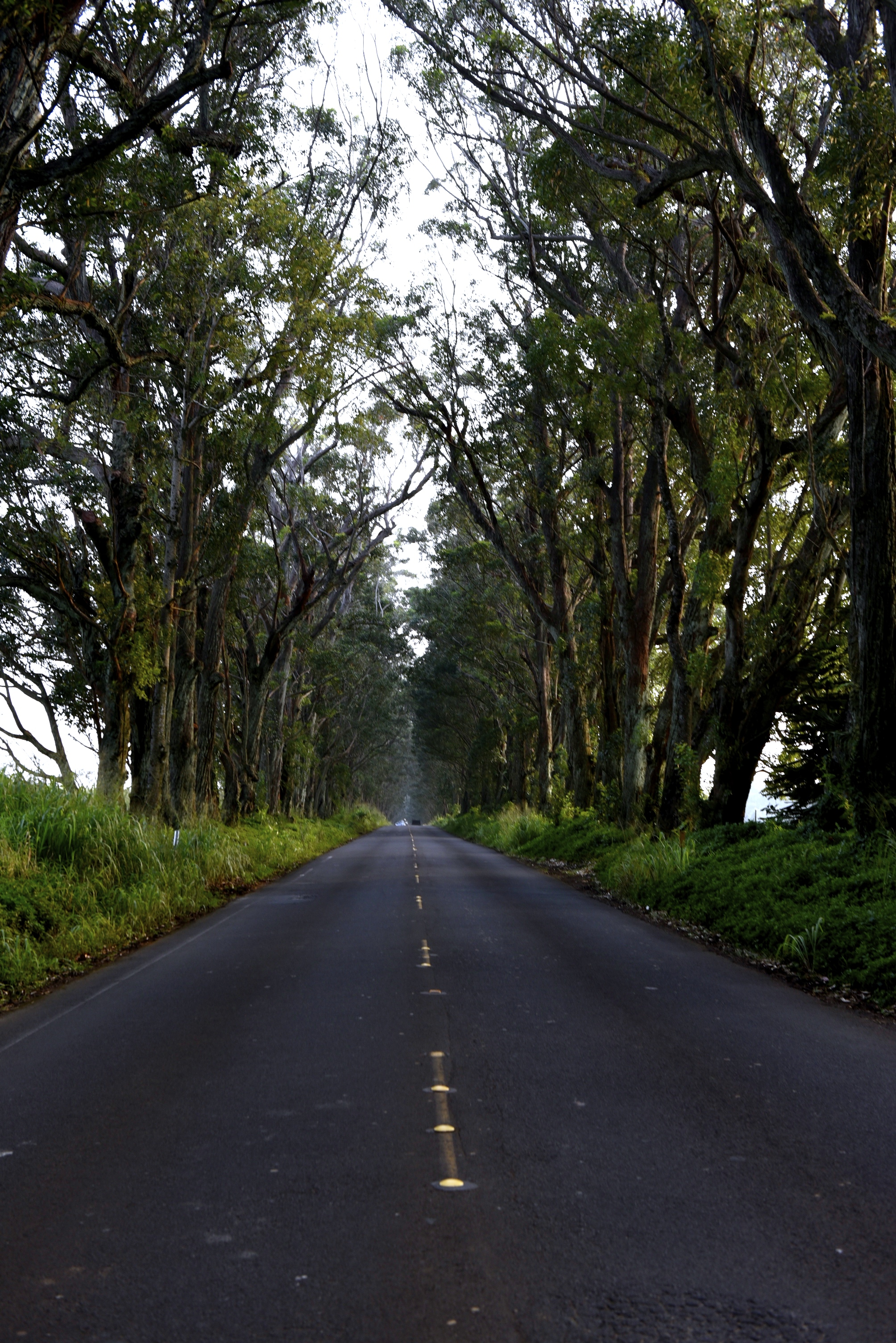 """""""The Tree Tunnel"""" - John Wayne, in the movie Donovan's Reef, races a jeep though this eucalyptus lined road."""